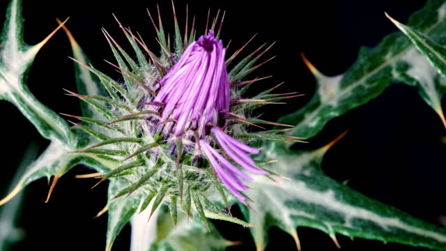 galactites elegans flower blooming in close-up time lapse video - thistle stock videos & royalty-free footage