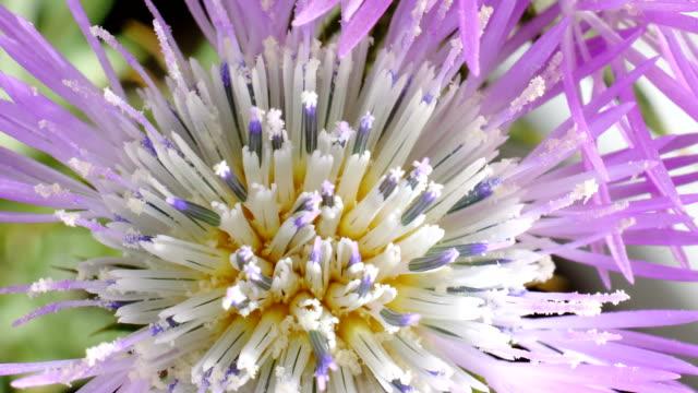 galactites elegans flower time lapse video - thistle stock videos & royalty-free footage