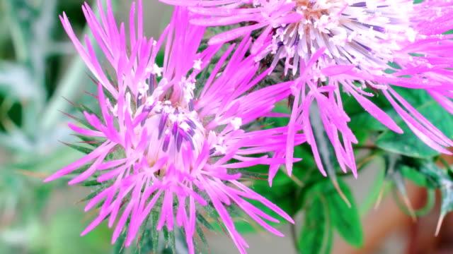 galactites elegans flower time lapse video - thorn stock videos & royalty-free footage