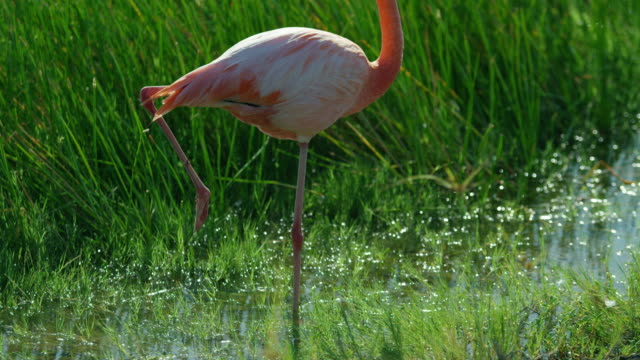 galagos flamingo - flamingo stock-videos und b-roll-filmmaterial