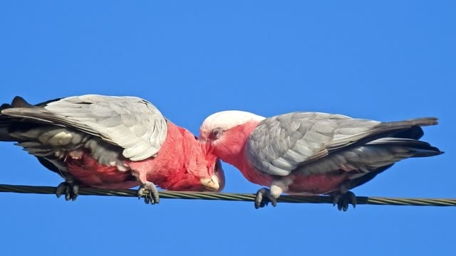 galahs on power lines - telephone line stock videos & royalty-free footage