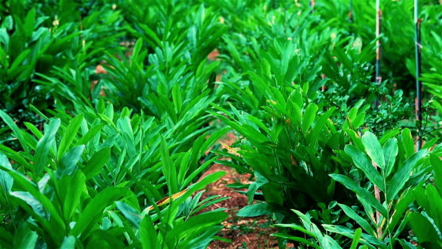 galangal plants farm - fare la raccolta video stock e b–roll