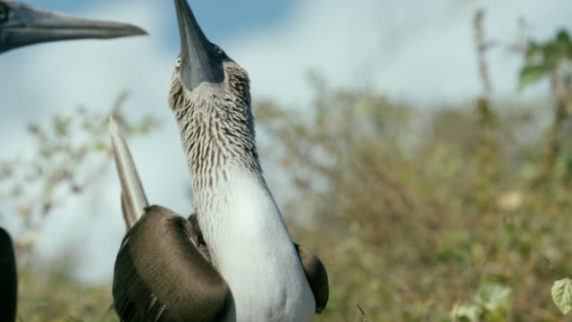 galapagos blue-footed boobies - galapagosinseln stock-videos und b-roll-filmmaterial