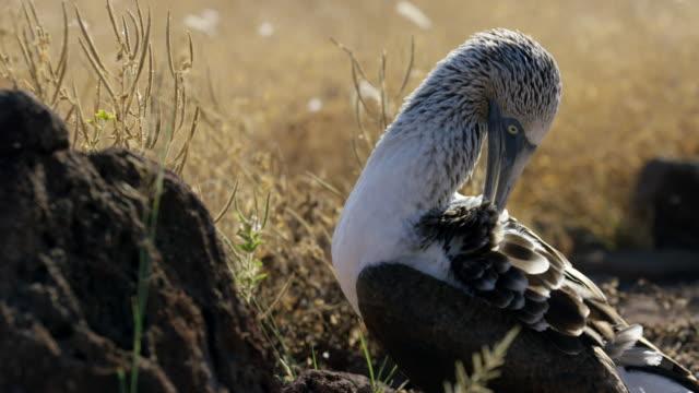 stockvideo's en b-roll-footage met galapagos blue-footed boobies - dierlijke mond