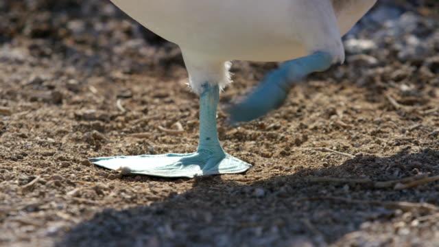 stockvideo's en b-roll-footage met galapagos blue-footed boobies - galapagoseilanden