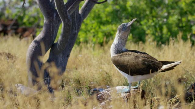 vídeos de stock, filmes e b-roll de galapagos blue-footed boobies - boca animal