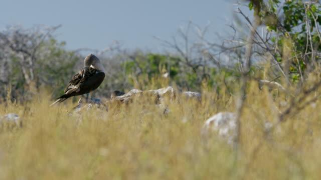 vidéos et rushes de galapagos blue-footed boobies - petit groupe d'animaux