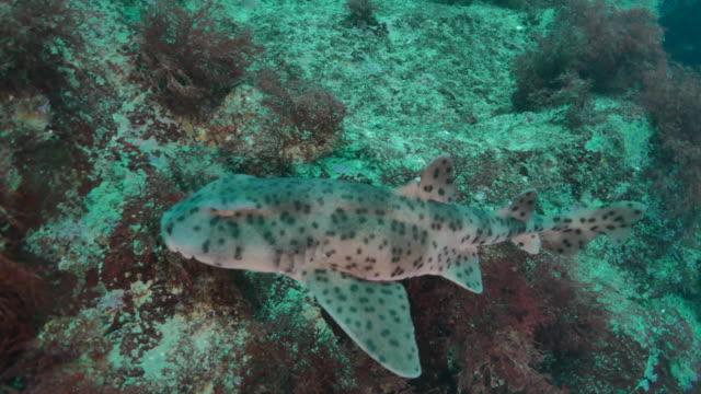 galapagos bullhead shark close-up view undersea - galapagos shark stock videos & royalty-free footage