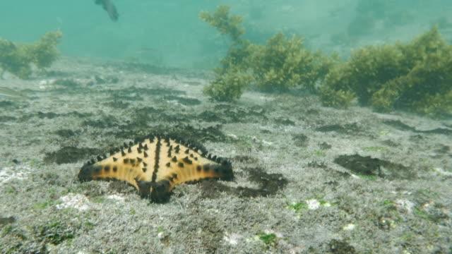 vídeos y material grabado en eventos de stock de galapagos chocolate chip starfish - grupo mediano de animales