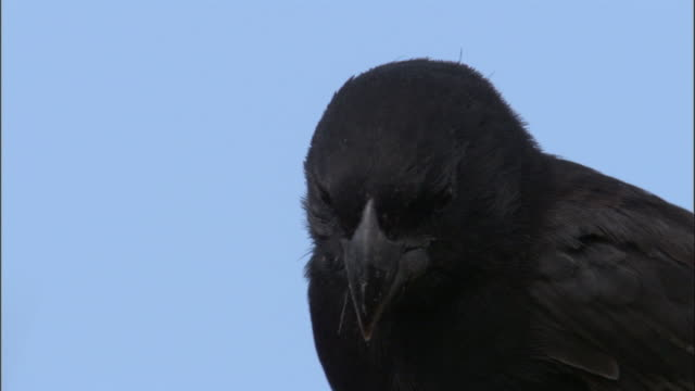 a galapagos finch looks around. available in hd. - galapagos islands stock videos & royalty-free footage