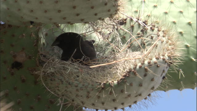 A Galapagos finch makes a nest in cactus. Available in HD.