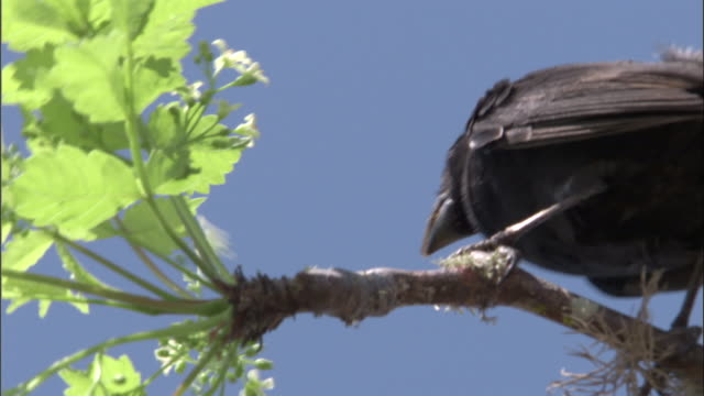 a galapagos finch pecks at a flowering branch. available in hd. - galapagos islands stock videos & royalty-free footage