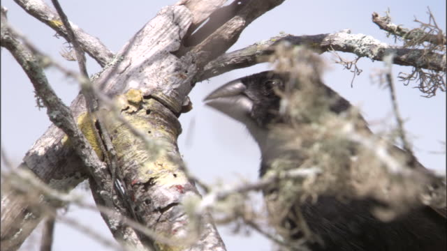 a galapagos finch peels bark from a tree. available in hd. - becco video stock e b–roll
