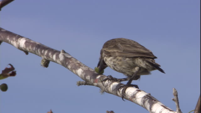 a galapagos finch perches on a branch while eating fruit. available in hd. - becco video stock e b–roll