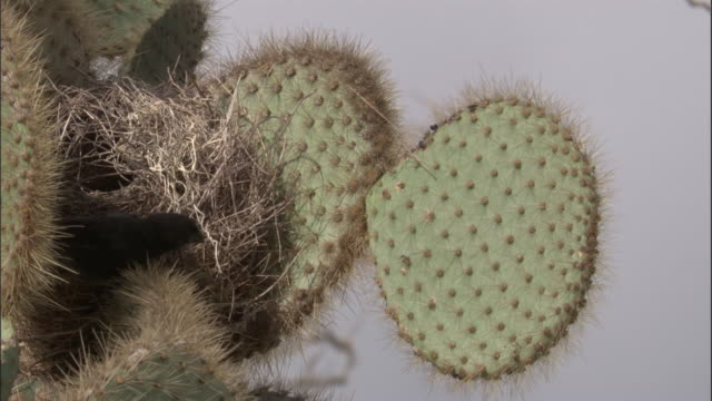 a galapagos finch tends to its nest. available in hd. - cactus video stock e b–roll