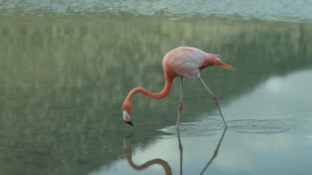 galapagos flamingo - flamingo stock-videos und b-roll-filmmaterial