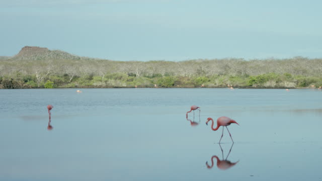 galapagos flamingos - galapagos islands stock videos & royalty-free footage
