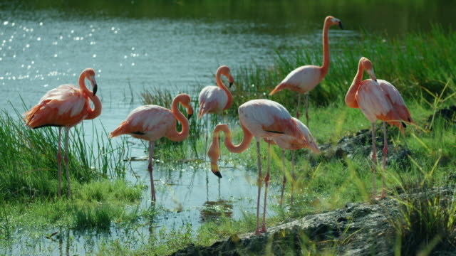 galapagos flamingos - galapagos islands stock videos & royalty-free footage