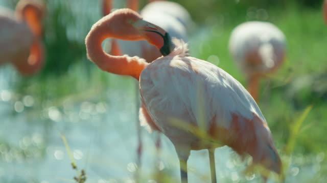 vídeos y material grabado en eventos de stock de galapagos flamingos - manada