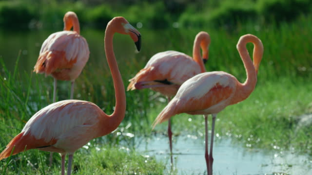 galapagos flamingos - vier tiere stock-videos und b-roll-filmmaterial
