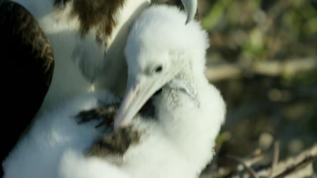 vídeos de stock, filmes e b-roll de galapagos frigatebird - boca animal