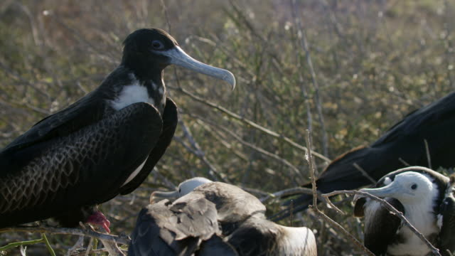 vidéos et rushes de galapagos frigatebird - petit groupe d'animaux