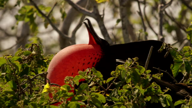 galapagos frigatebird - galapagos islands stock videos & royalty-free footage