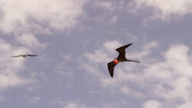 stockvideo's en b-roll-footage met galapagos frigatebirds flying - drie dieren
