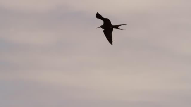 galapagos frigatebirds flying - 2匹点の映像素材/bロール