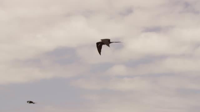 galapagos frigatebirds flying - 三匹点の映像素材/bロール