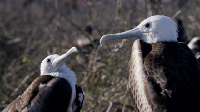 vídeos de stock, filmes e b-roll de galapagos frigatebirds - boca animal
