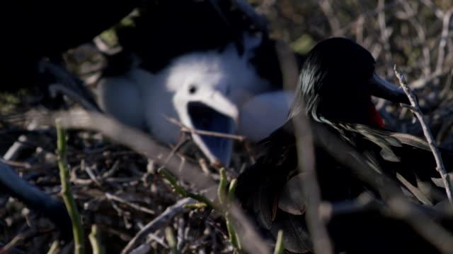 vidéos et rushes de galapagos frigatebirds - fondu d'ouverture