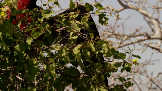 vidéos et rushes de galapagos frigatebirds - petit groupe d'animaux