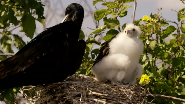 galapagos frigatebirds - 動物の翼点の映像素材/bロール