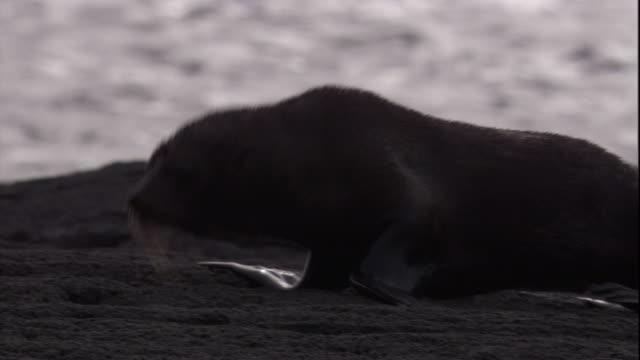 vidéos et rushes de a galapagos fur seal lumbers over rocky terrain near the ocean. available in hd. - otarie à fourrure