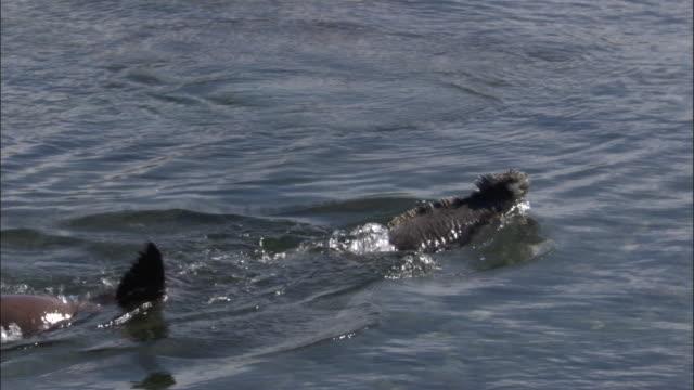 Galapagos fur seal pursues marine iguana through shallow waters.