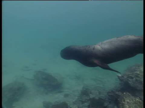 galapagos fur seal swims and turns underwater, galapagos - 1991 stock videos and b-roll footage
