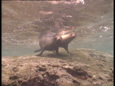 galapagos fur seals swim and kiss on reef, galapagos - kissing stock videos & royalty-free footage