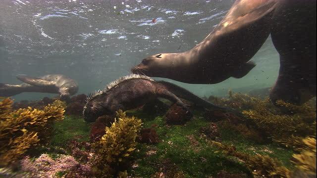 Galapagos fur seals swim over a feeding marine iguana. Available in HD.