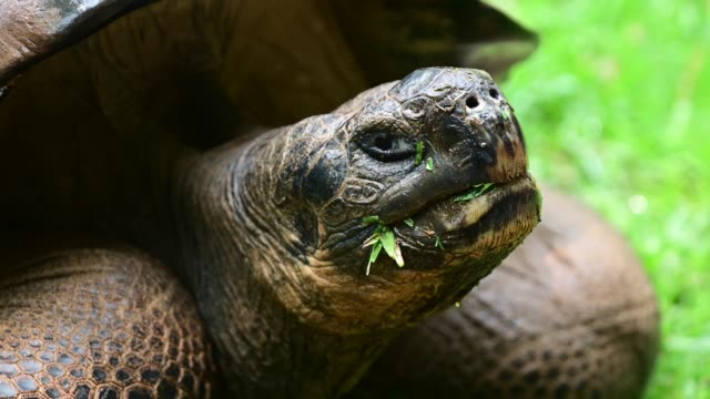 galapagos giant tortoise from galapagos islands ecuador - tortoise stock videos & royalty-free footage