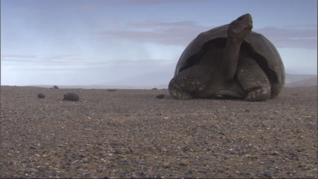 A Galapagos giant tortoise looks around. Available in HD.