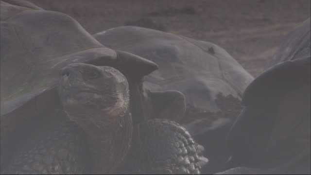 a galapagos giant tortoise looks from beneath its shell. available in hd. - tortoise shell stock videos & royalty-free footage