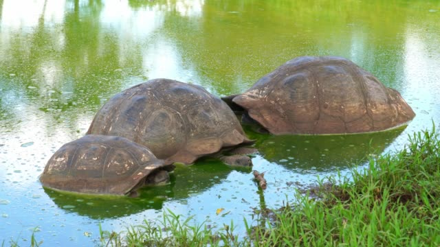 galapagos giant tortoise turtle - animal shell stock videos & royalty-free footage