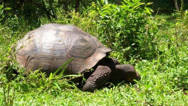 vídeos de stock e filmes b-roll de galapagos giant tortoise turtle - gigante personagem fictícia