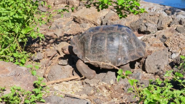 galapagos giant tortoise turtle - turtle shell stock videos & royalty-free footage