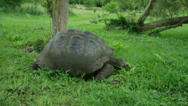 galapagos giant tortoise - reptile stock videos & royalty-free footage