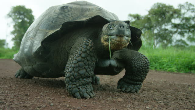 galapagos giant tortoise - tortoise stock videos and b-roll footage