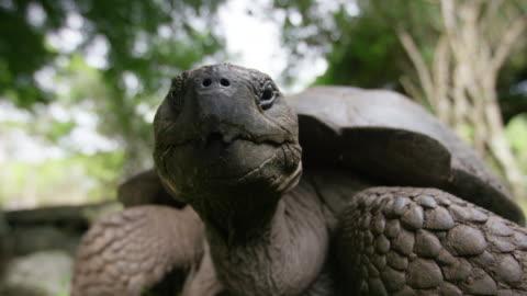 galapagos giant tortoise - galapagos islands stock videos & royalty-free footage