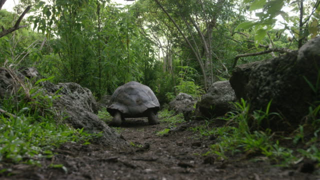 galapagos giant tortoise - galapagosinseln stock-videos und b-roll-filmmaterial