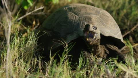 galapagos giant tortoise - landschildkröte stock-videos und b-roll-filmmaterial